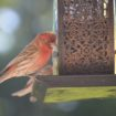 house finch m mine